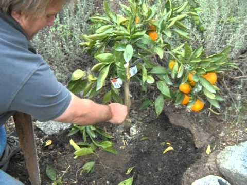 Citrus Satsuma Orange Bush Growing Issues