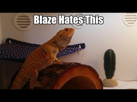 Bearded Dragon Owners // Blaze Hates This..