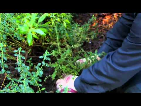 How to Plant English Thyme