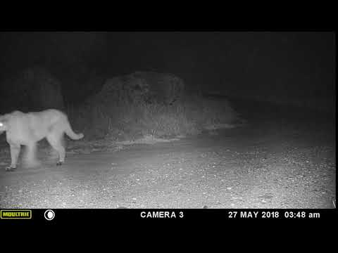 Another mountain lion