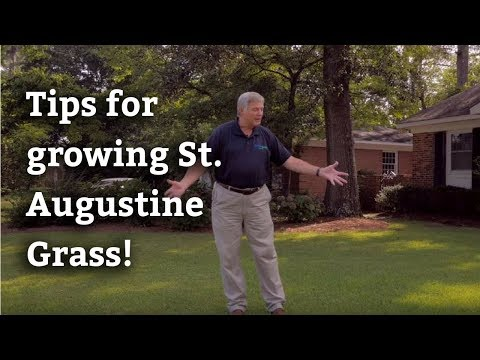 Growing St. Augustine Grass - Expert Lawn Care Tips