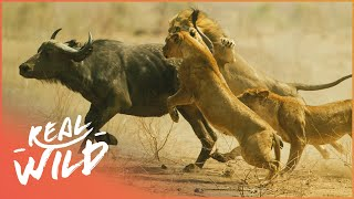 Lions Behaving Badly [Lion Pride Documentary] | Wild Things
