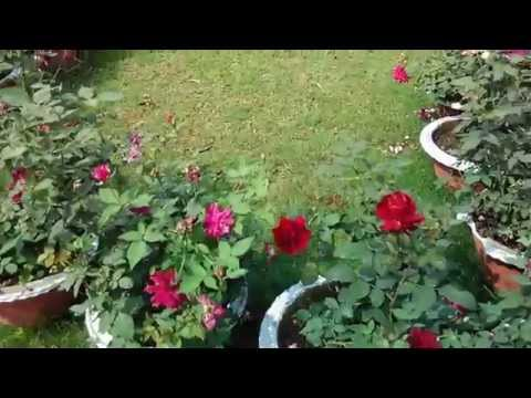 How to do Pot Up Roses cultivation
