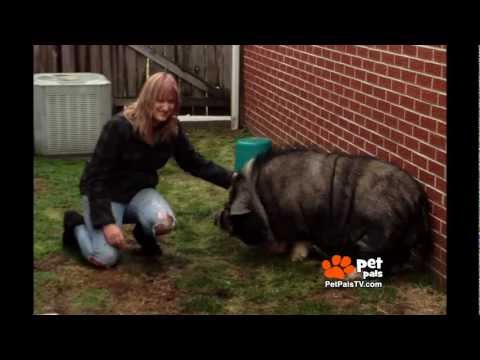 Family Abandons Pot-bellied Pig