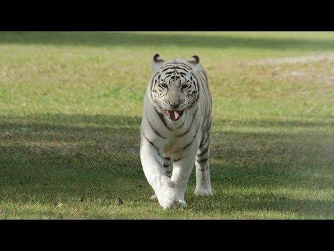 Tiger ROAR!!