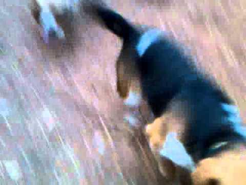 Beagle Puppies in Fox Pen