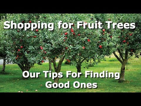 Shopping for Our Fruit Trees | Tips for Buying