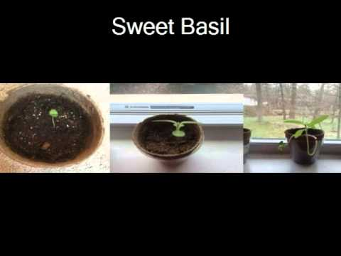 The Effect of Sunlight on Basil and Cat Grass