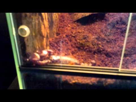 Pandinus Cavimanus scorpion sightseeing (Red claw scorpion)