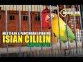 Download lagu Masteran Lovebird Isian Cililin Mantap!