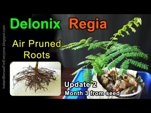 Air Pruned Roots Of Delonix Regia Seedling / Royal Poinciana / Gulmohar Tree For Bonsai