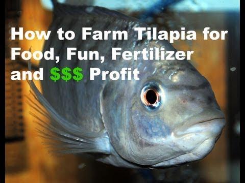 How to Farm Tilapia for Food, Fun, Fertilizer & Profit 9-5-13