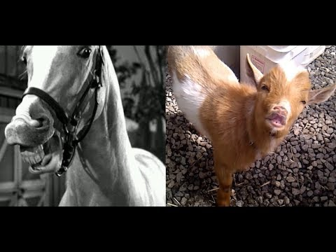 Baby Goat Kid - Acts Like Mr. Ed - the Talking Horse