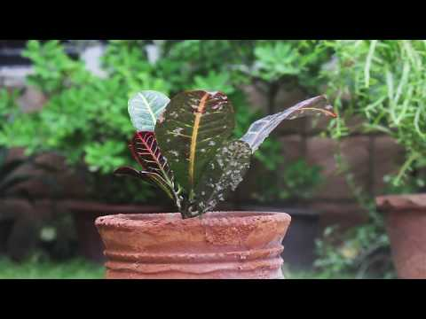 How To Remove Mealybugs Using Soapy Water?(Urdu)