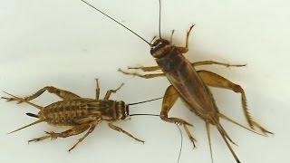 Get Rid Of Crickets Crickets