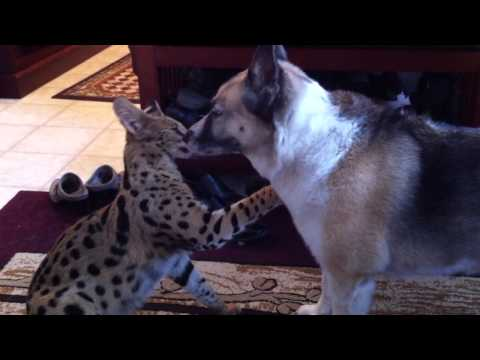 Jagger ( Serval ) playing with german shepherd - heeler cross