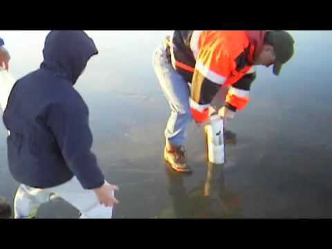How to dig razor clams