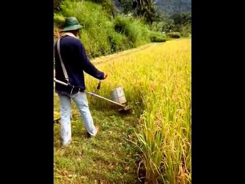 Grasscutter na naging rice cutter!