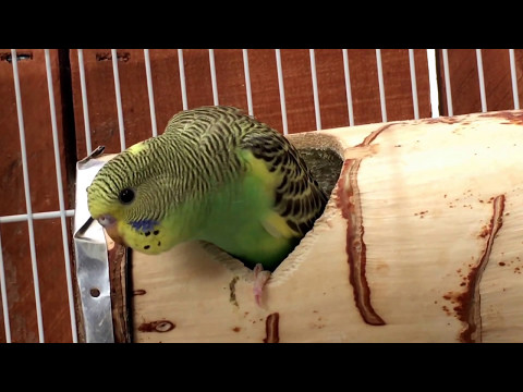 What A Parakeet Looks Like When He Is About To Fledge / Parakeet Update