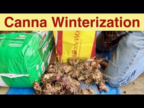 Canna Winterization or Canna Bulb Storage for Winter