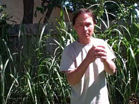 Growing Sugar Cane in the Backyard in Sacramento California