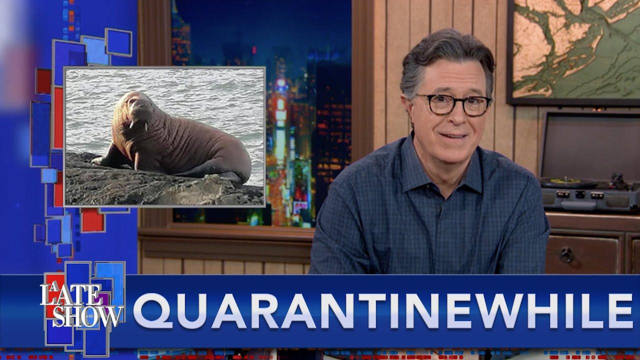Quarantinewhile... Sleepy Arctic Walrus Wakes Up In Ireland