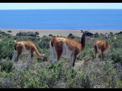 Guanaco, Caleta Valdés, Peninsula Valdes, Chubut Province, Argentina, South America