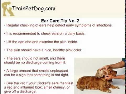 Ear Care For Your Cocker Spaniel