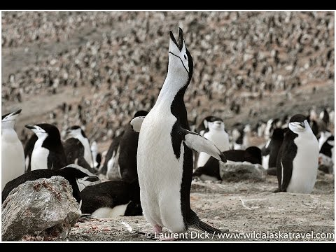Chinstrap Penguins at Baily Head, Deception Island, South Shetland Islands, Antarctica