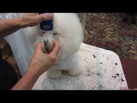 dog grooming - bichon eyes