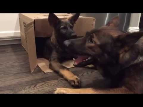 Dogs Playfully Biting Eachother | What's in the Box?