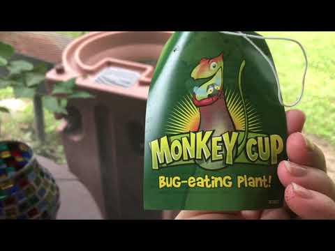 Monkey pitcher plant carnivorous