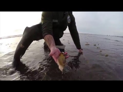 Digging Razor Clams in Washington