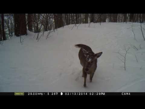 Deer makin sounds 2