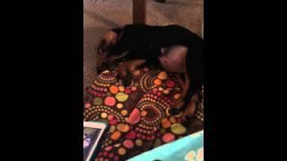 Rottweiler Louka dreaming