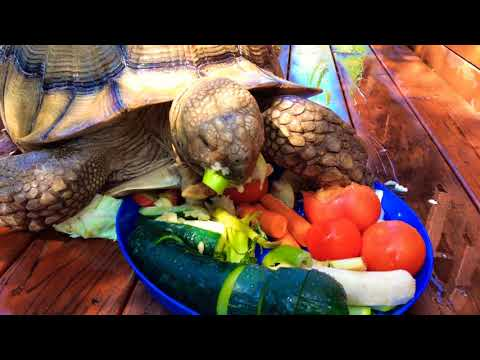 Sulcata Tortoise Eating