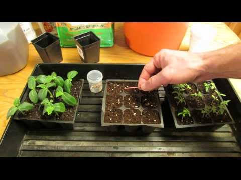For New Gardeners: How to Start/Plant Tomato Seeds Indoors for Transplants - MFG 2014