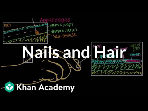 Where do our nails and hair come from? | Integumentary system physiology | NCLEX-RN | Khan Academy
