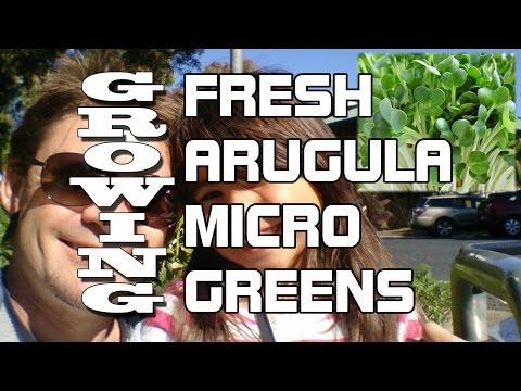 Plant Profile: Growing Fresh Arugula Microgreens
