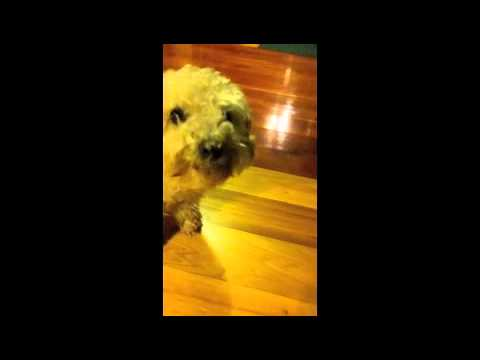 Cute Fluffy Poodle Licks Peanut-Butter Off Nose