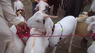Teddy Bakre goat farming 0 3 448596 564 subscribe like OLX video for
