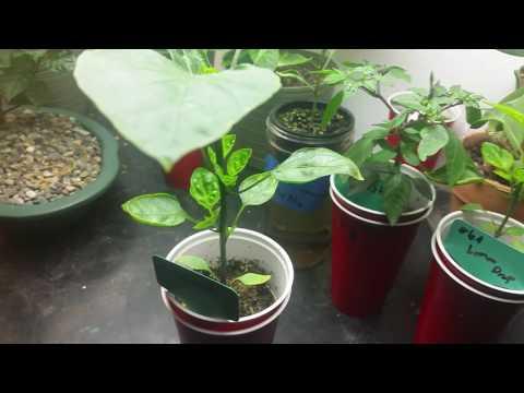 Habanada Pepper update July 12th 2017