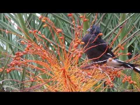 PHOENIX PALM WEED CONTROL