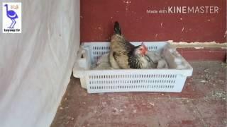 #x202b;كيف تجعل دجاجتك ترقد على البيض#x202c;lrm;