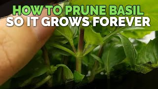 How To Prune Basil So It Grows Forever
