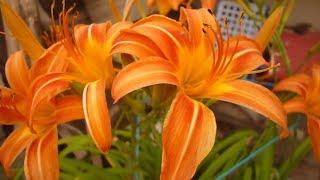 زراعة الابصال واكثارها والعناية بورد الامريللس في المنزل Amaryllis flower