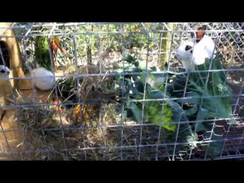 My recycled chicken cage rabbit hutches and some 3 weeks old baby rex rabbits