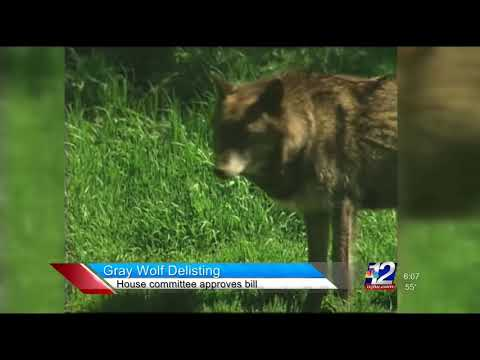 Sean Duffy On Gray Wolf Delisting