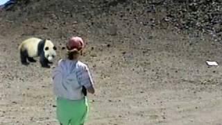 Panda Hunt - What Really Happened