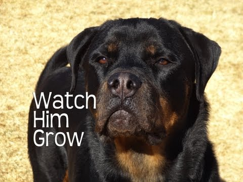 Rottweilers First Year - Watch Him Grow